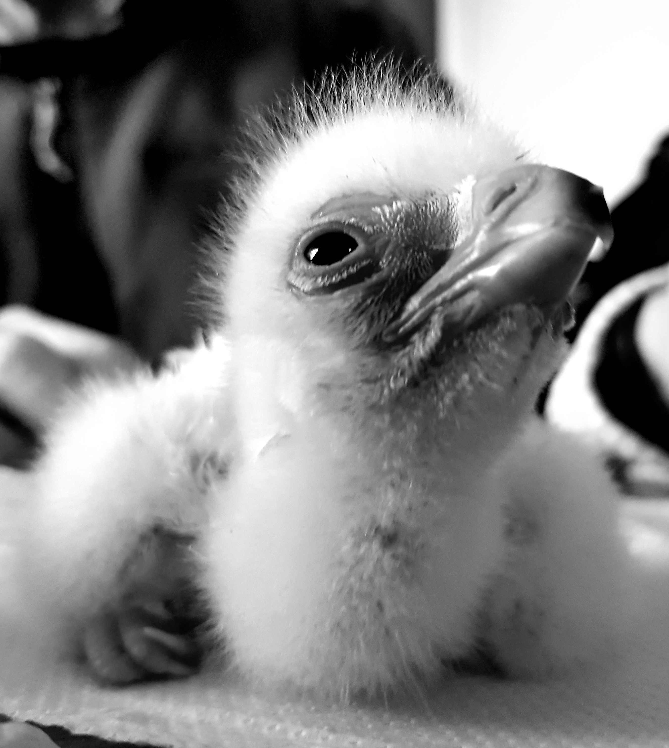 Baby Verreaux Eagle