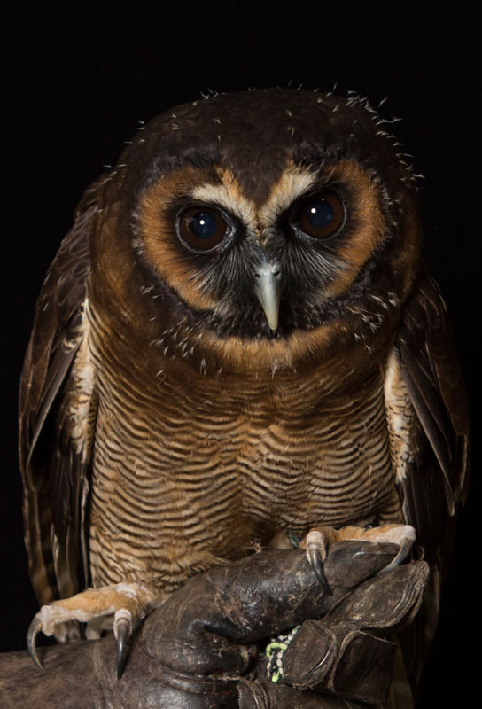 Brown Asian Wood Owl