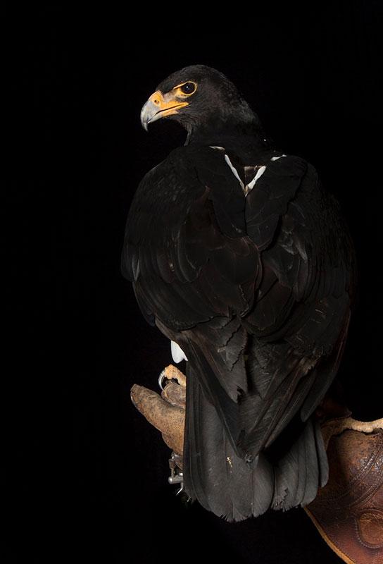Verreaux Eagle